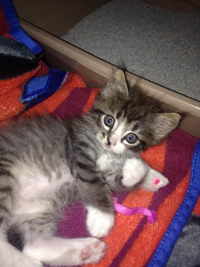 This is Shelby, a four week old kitten.  She belongs to our practice manager Melissa!